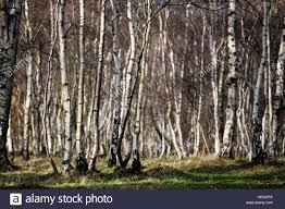 Silver birch trees in the Derbyshire Peak District, UK