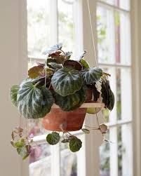 hanging house plants terrific the best indoor plants for clean air and low light settings 11