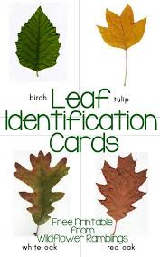 Free Leaf Identification Cards 30 Printable Cards Autumn
