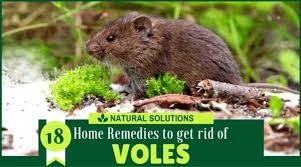 how to get rid of voles in garden. Perfect Rid To How Get Rid Of Voles In Garden