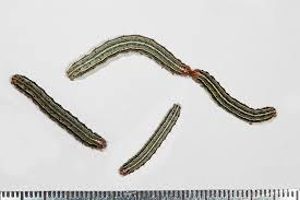 Common Caterpillars Texas Insect Identification Tools