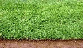 Image result for images of hybrid bermuda grass