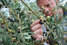 Breaking US Dependence On Foreign Olive Oil  National Wild Olive Tree Fruit