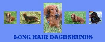 ch agne long hair mini dachshund   Longdox Dog pictures furthermore Pramada Kennels  Reg    Grooming moreover The 25  best Long haired dachshund puppies ideas on Pinterest besides  furthermore Adorable chocolate dapple  long haired Dachshund puppy Chevy further Miniature Dachshund Long haired Breed Information  History  Health likewise Best 25  Long hair daschund ideas on Pinterest   Long haired as well Long Haired Dachshund Stock Photos and Pictures   Getty Images as well Grooming A Dachshund Tecniques And Steps likewise Dachshund Health   Care Information moreover Grooming Long Haired Dachshund   Popular Long Hair 2017. on do long haired dachshunds need haircuts