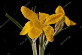 yellow flowers isolated on a black