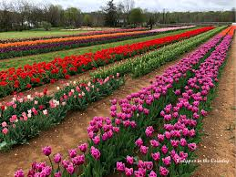 appaly we visited the tulip festival at the right time