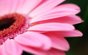 Pink flowers desktop wallpaper ...
