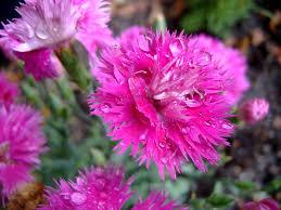 hot pink flowers wallpaper.  Hot Wet HotPink Flowers Wallpaper By Richardxthripp  On Hot Pink N