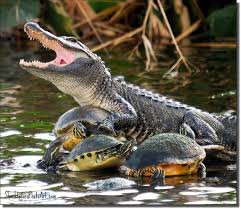 Image result for crocodile,frog and tortoise