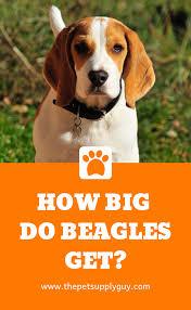 How Big Do Beagles Get Beagle Size Chart Read More