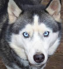 an arctic breed the siberian husky often has blue eyes