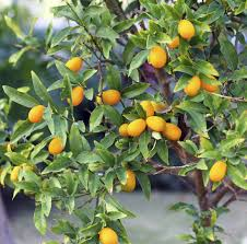 Best 25 Kumquat Tree Ideas On Pinterest  Lemon Tree Potted Kumquat Tree Not Bearing Fruit