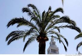 fan palm trees. palm trees that do well in the bay area. one is canary island date fan
