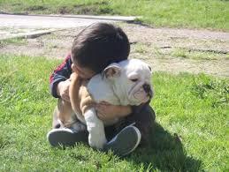 akc english bulldog stud services and english bulldogs puppies ch stud service english bullies breeders akc english bulldogs puppies houston