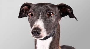 Small Picture Italian Greyhound Dog Breed Information American Kennel Club