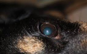 Whats Wrong With My Dogs Eye The Dogington Post