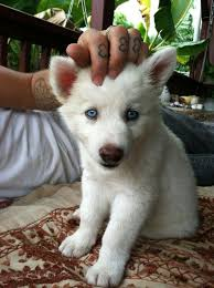 white wolf pup with blue eyes. Simple White Baby Wolf Blue Eyes To White Wolf Pup With Blue Eyes