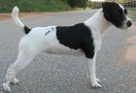 black and white jack russell terrier mix. Perfect Jack Parson Russell Terrier Black Intended And White Jack Mix 101DogBreedscom