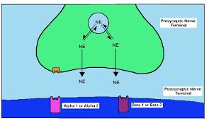 Adrenergic Receptors Chart Adrenergic Pharmacology