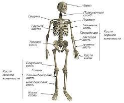 Форма и функции костей скелета человека Реферат Для того чтобы стать сильным ловким выносливым и работоспособным необходимо регулярно заниматься физическим трудом физкультурой и спортом