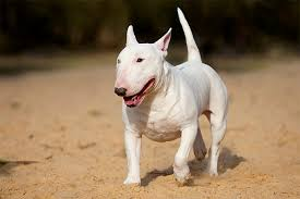 miniature bull terrier mix. Perfect Mix Bull Terier Dog Breed Picture Intended Miniature Terrier Mix L