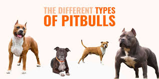 Different Types Of Pitbulls Apbt American Bully Bulldogs