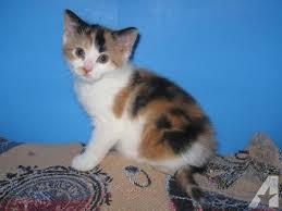 calico kittens for sale. Beautiful Sale Pets And Animals For Sale In Lebanon Pennsylvania  Puppy Kitten  Classifieds Buy Sell Kittens Puppies Americanlistedcom With Calico Kittens For Sale