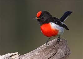 Mia Mia bird life this week | Bird, Australia animals, Australian birds