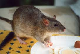 rodents particularly rats are closely linked to humans that s because people and their dwellings provide them with the things they need most to thrive