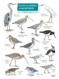 Guide To Winter Coastal Birds Identification Chart By