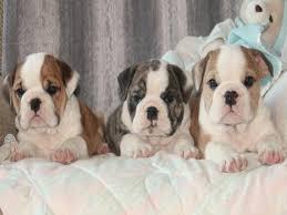 puppies for in ohio pet inc english bulldog puppies for in columbus ohio