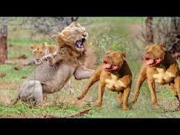 pitbull dog vs lion. Perfect Pitbull 5 PTBULL Mu ASLAN M  Sizce Hangisi Daha Gl   Dog Vs Lion About  FACTS YouTube Throughout Pitbull Vs S