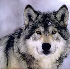grey wolf size image grey wolf jpg youngonespack wiki fandom powered by wikia