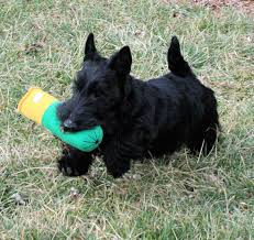 scottish terrier puppies. Plain Terrier Scottish Terrier Puppies To P