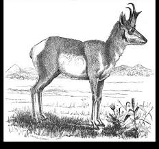 pronghorn antelope discovering lewis clark acirc reg  caton s tracing of photo