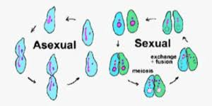 Asexual Vs Sexual Reproduction Difference And Comparison