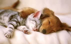 dog and cat sleeping together.  Sleeping View Larger Image Introduce New Cat Dog Inside And Sleeping Together I