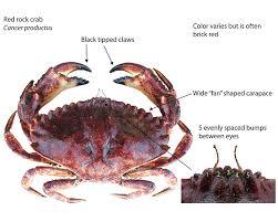 Crab Species Chart California Crabs