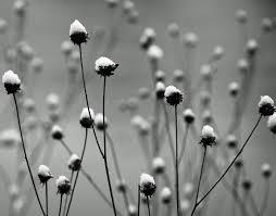 black and white snow photography. Exellent Snow Iowa Bu0026ampw Snow Thistles Landscape Macro Herrmann For Black And White Snow Photography U