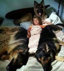 german shepherd attack owner. Like To Sleep With You German Shepherd Attack Owner Quora