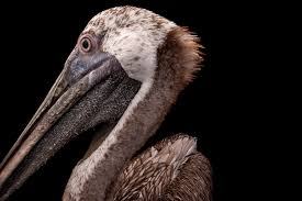 yes animals think and feel here s how we know picture of a brown pelican