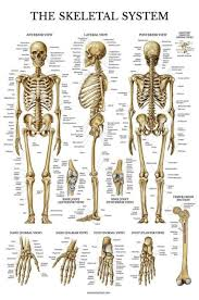 Skeletal System Anatomical Chart Laminated Human Skeleton Anatomy Poster D