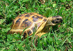 Russian Tortoise Diet Proper Food For Your Pet Russian