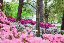 callaway garden azaleas bloom prolifically throughout the south in march but few places can match the