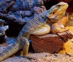 How To Make Your Overweight Bearded Dragon Lose Weight