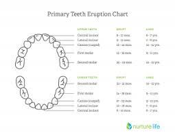 Teeth Age Chart Pediatric Dental Faqs In Montville Nj Montville Pediatric