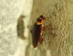 Cockroach Control Get Rid Of Cockroaches Naturally Helpling Uae Blog