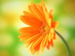 flower wall paper download daisy flower wallpaper flower dreams