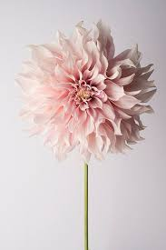 flower photography floral still life photography pink dahlia cafe au lait wall decor wall art on wall art flowers photography with peony photography french peonies still life fine art photograph