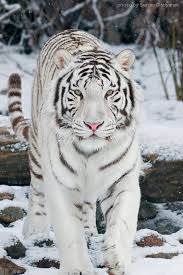 white tiger with blue eyes in snow. Contemporary Snow Blue Eyed White Tiger In Snow On With Eyes In
